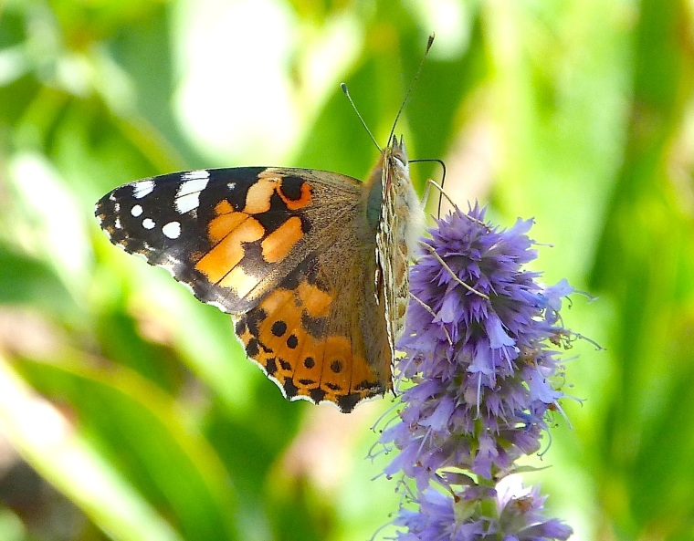 Painted Lady, Dorset 1
