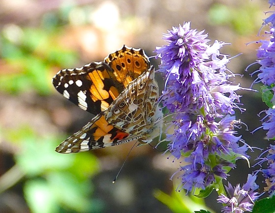 Painted Lady, Dorset 2