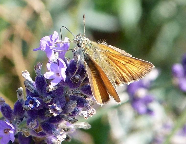 Skipper Butterfly, Dorset 1