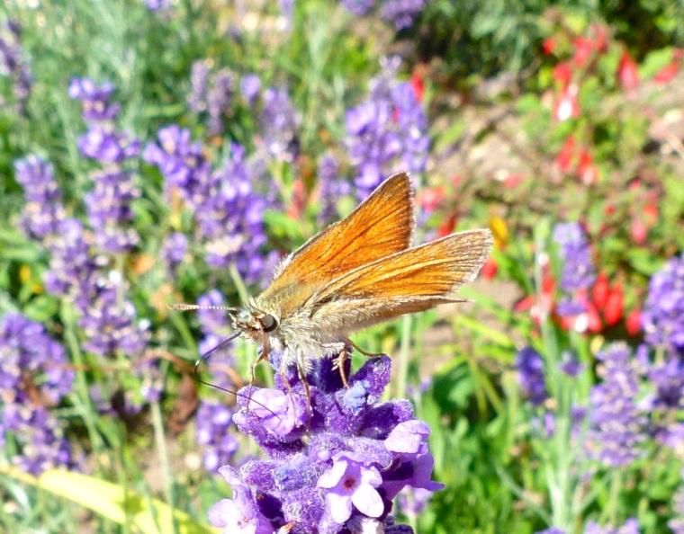 Skipper Butterfly, Dorset 2