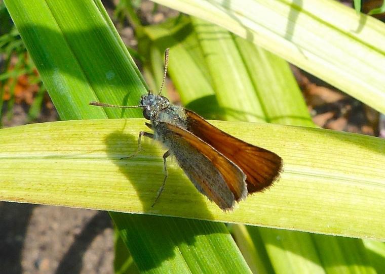 Skipper Butterfly, Dorset 3