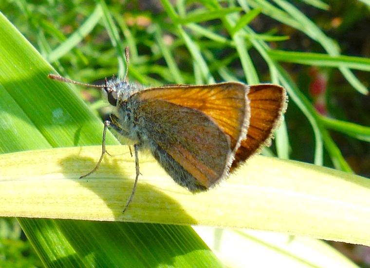 Skipper Butterfly, Dorset 4