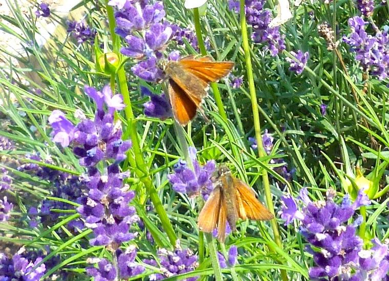Skipper Butterfly, Dorset 5
