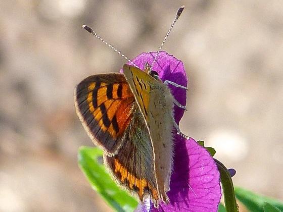 Small Copper, Dorset 3