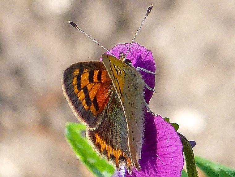 Small Copper, Dorset 3