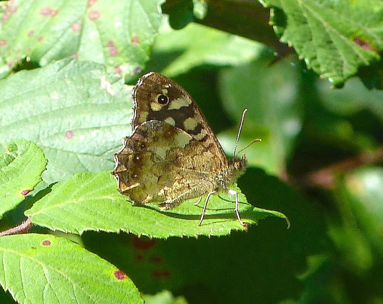 Speckled Wood Butterfly, Dorset 1