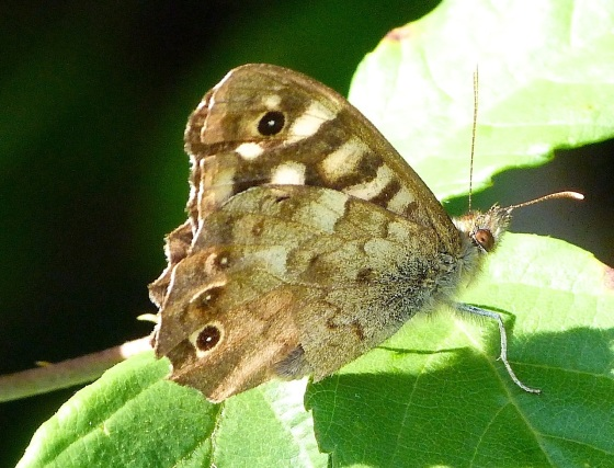 Speckled Wood Butterfly, Dorset 10