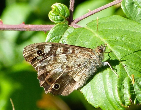 Speckled Wood Butterfly, Dorset 4