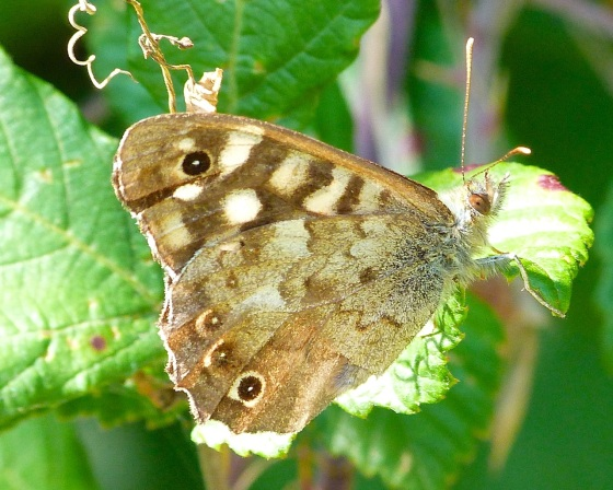 Speckled Wood Butterfly, Dorset 8
