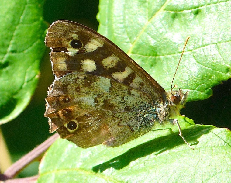 Speckled Wood Butterfly, Dorset 9