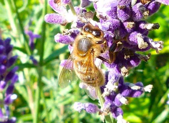 Summer Bees Dorset 11