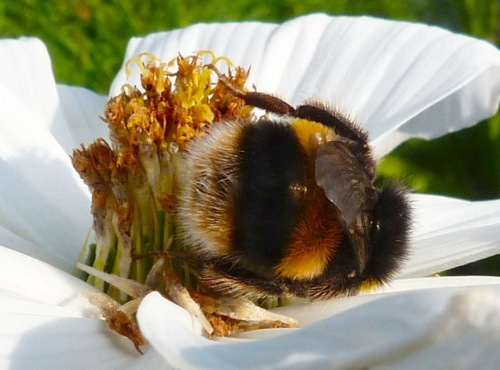 Summer Bees Dorset 9