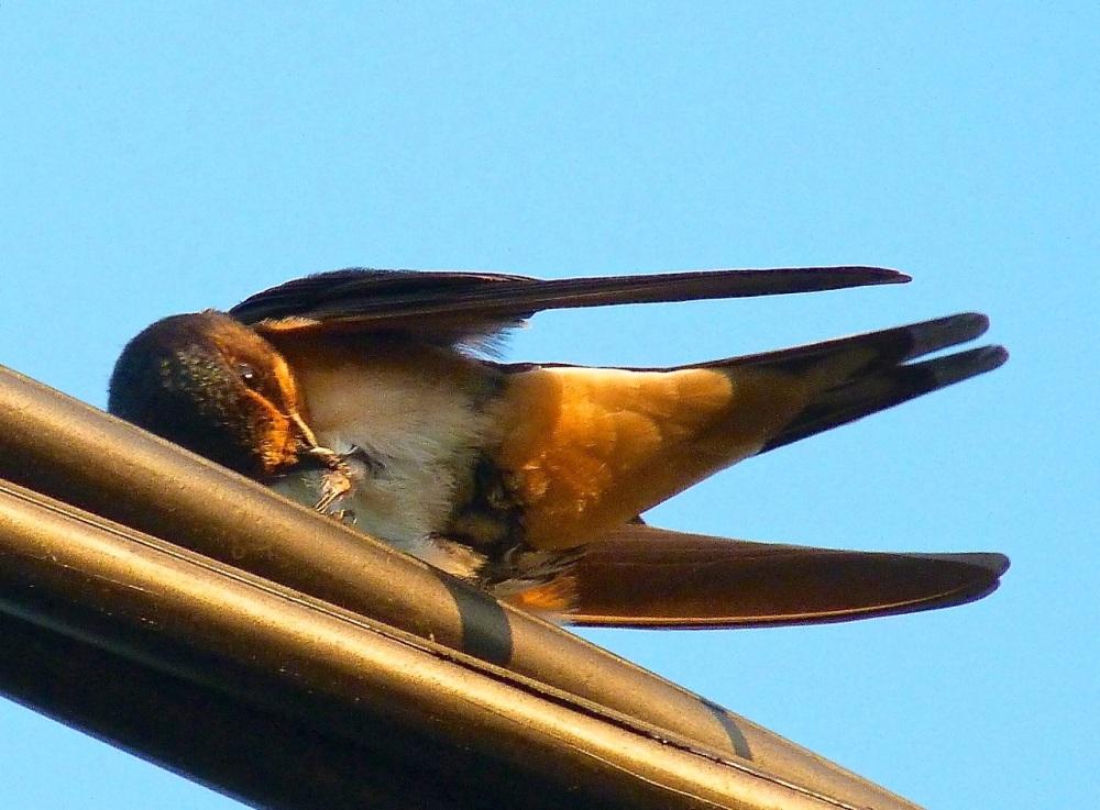 Swallow, Dorset 1