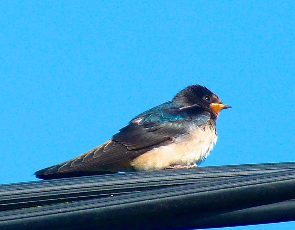 Swallow, Dorset 10