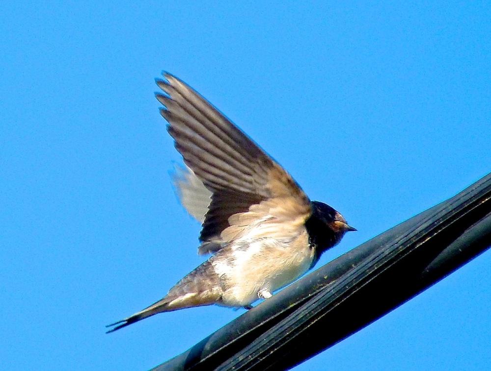 Swallow, Dorset 11