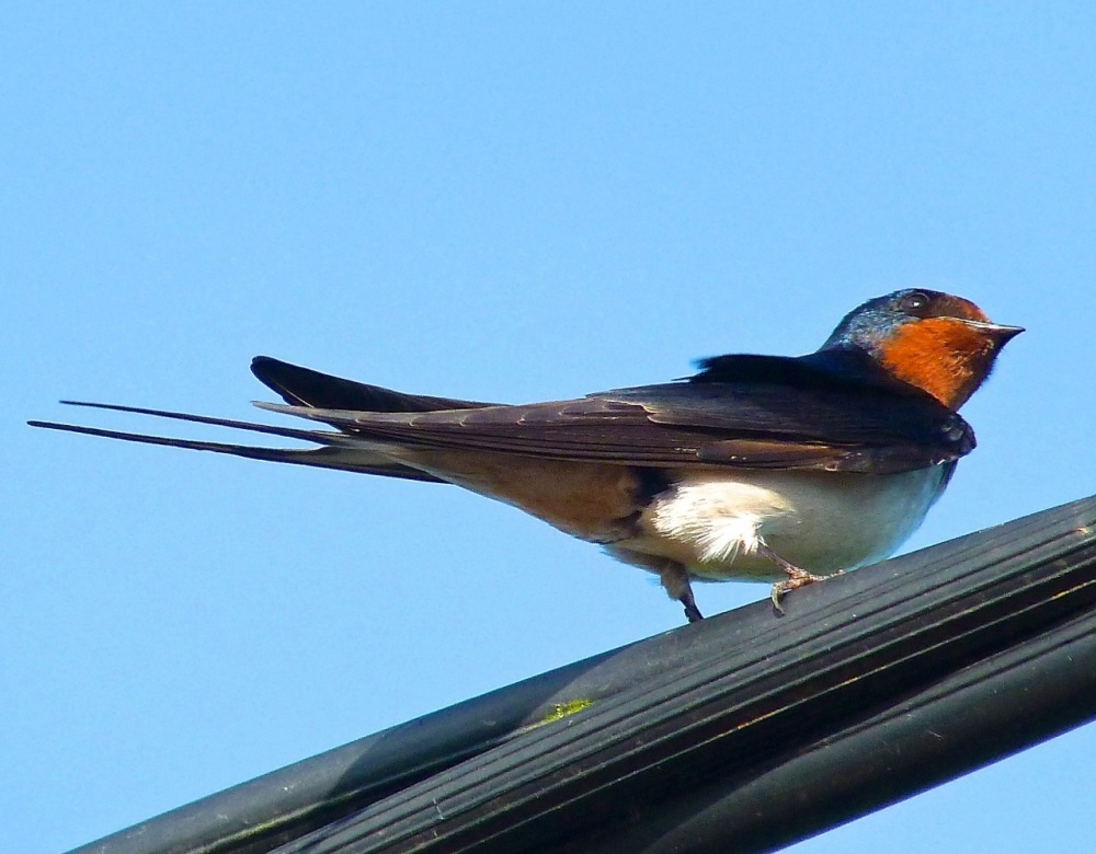 Swallow, Dorset 13