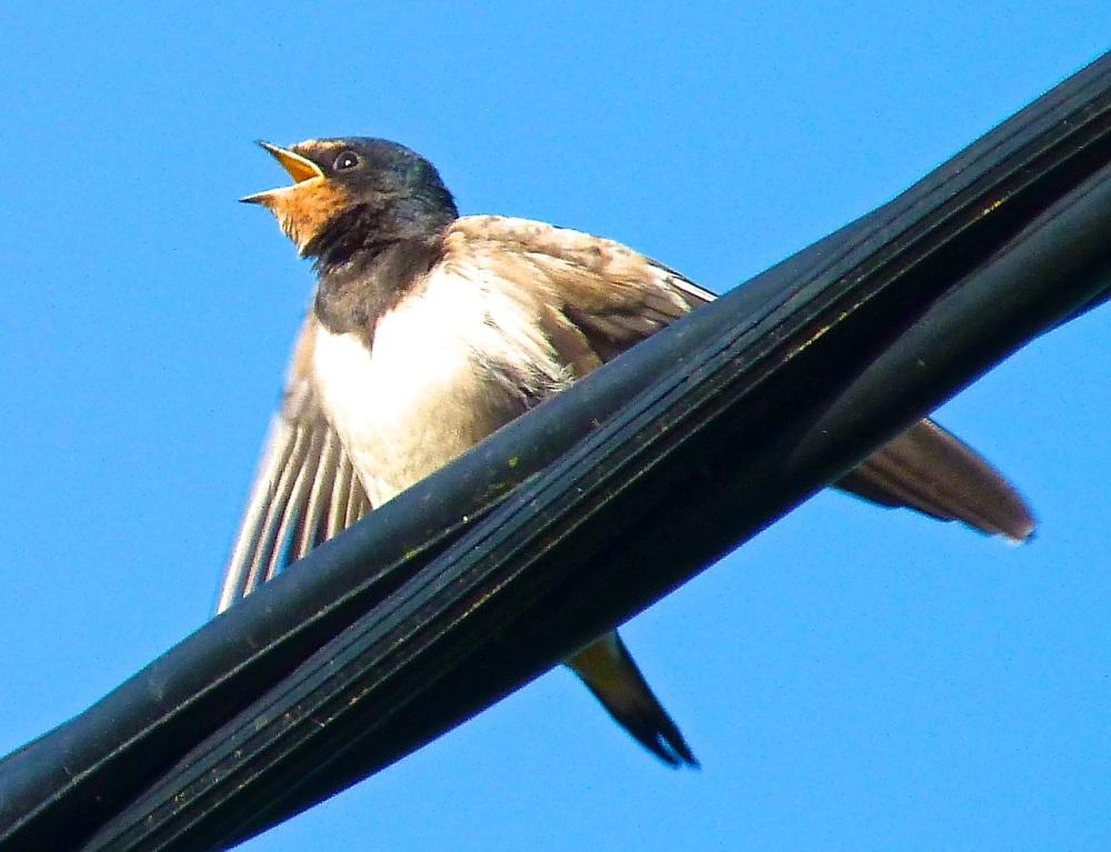 Swallow, Dorset 15