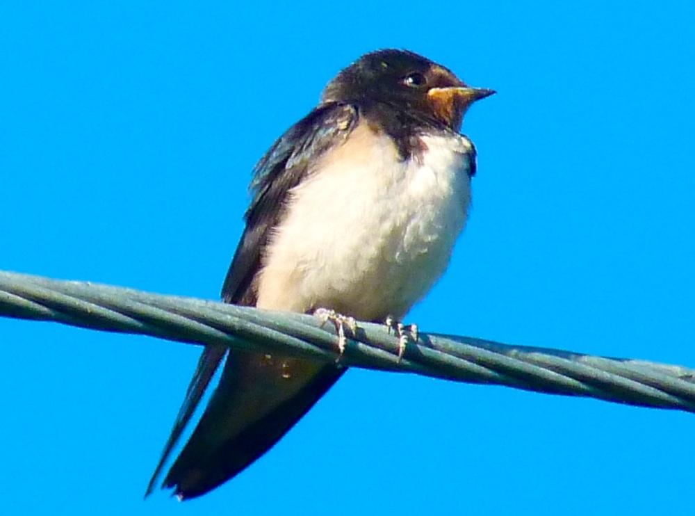 Swallow, Dorset 16