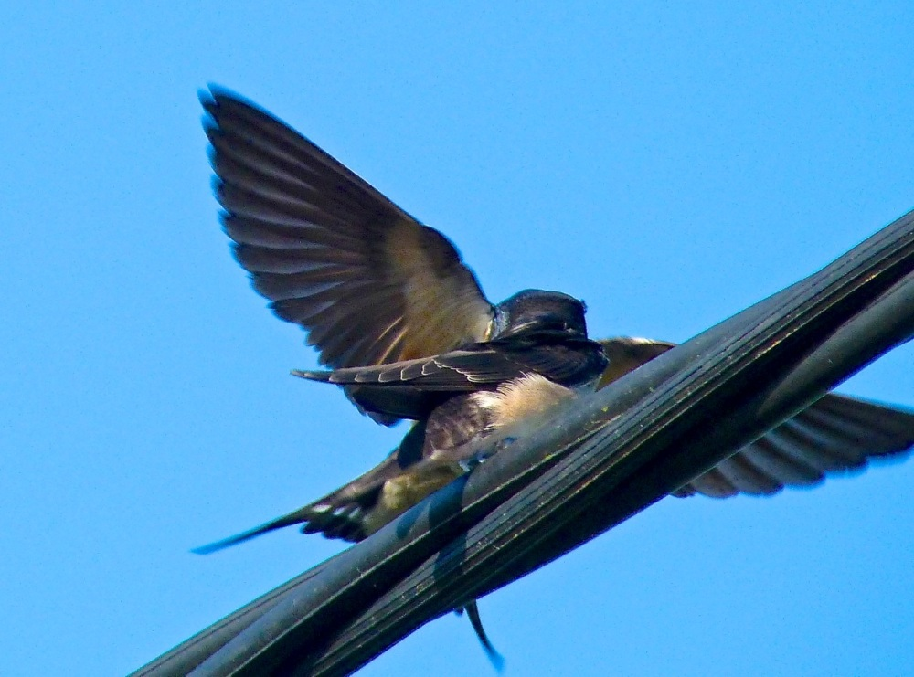 Swallow, Dorset 17