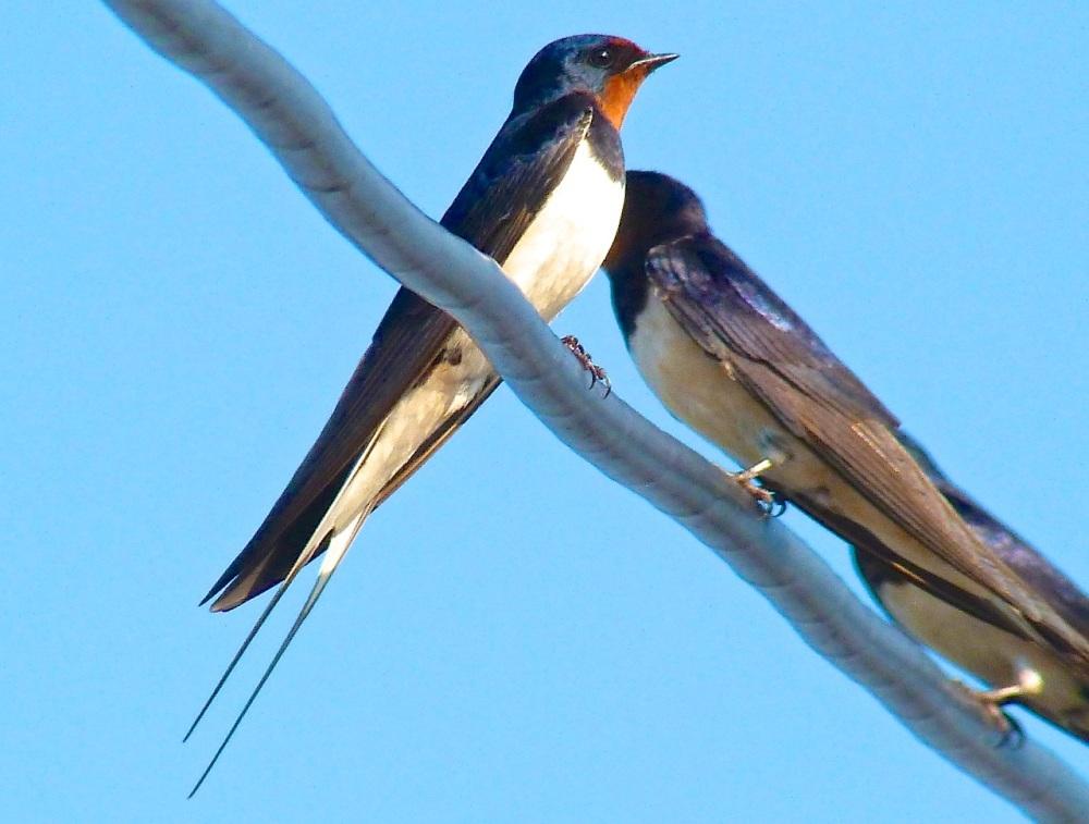 Swallow, Dorset 2