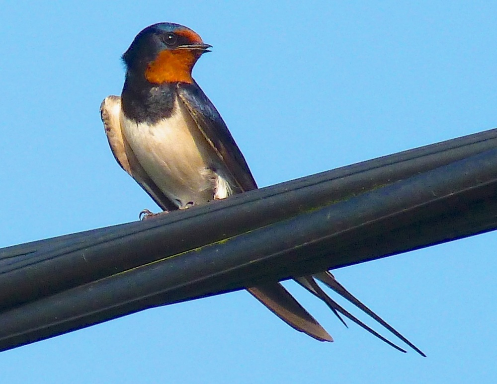 Swallow, Dorset 9