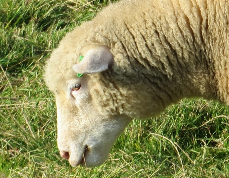 Dorset Sheep 10