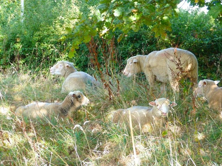 Dorset Sheep 2