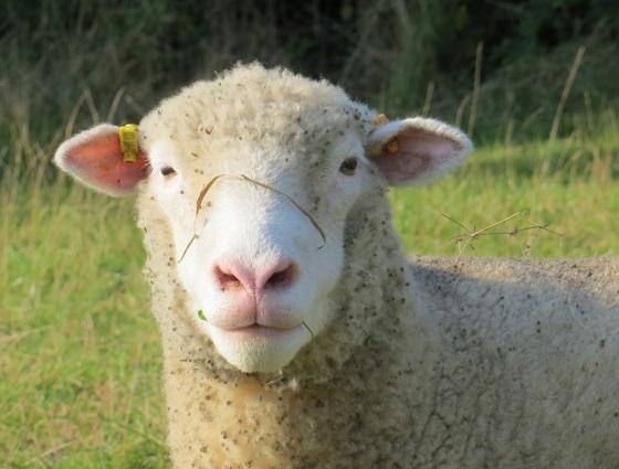 Dorset Poll Sheep 3