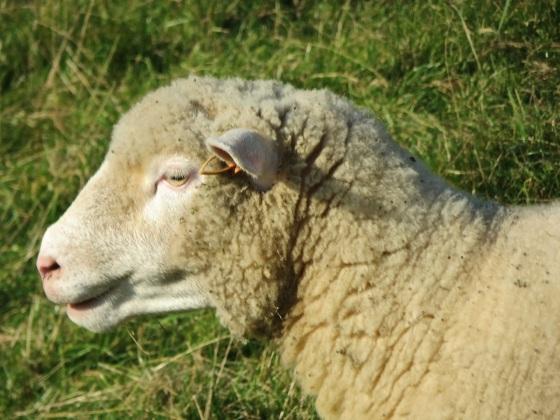 Dorset Poll Sheep 6