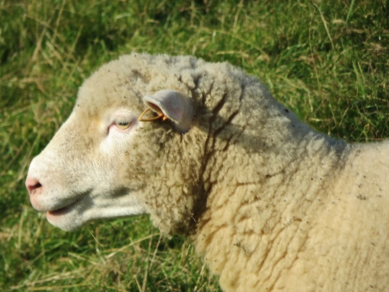 Dorset Sheep 6
