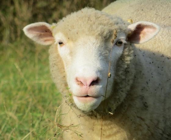 Dorset Poll Sheep 7