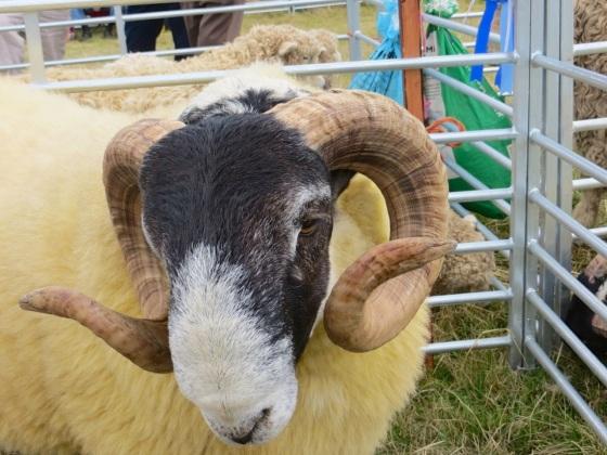 Dorset Horn Sheep - Stock Oak Fair