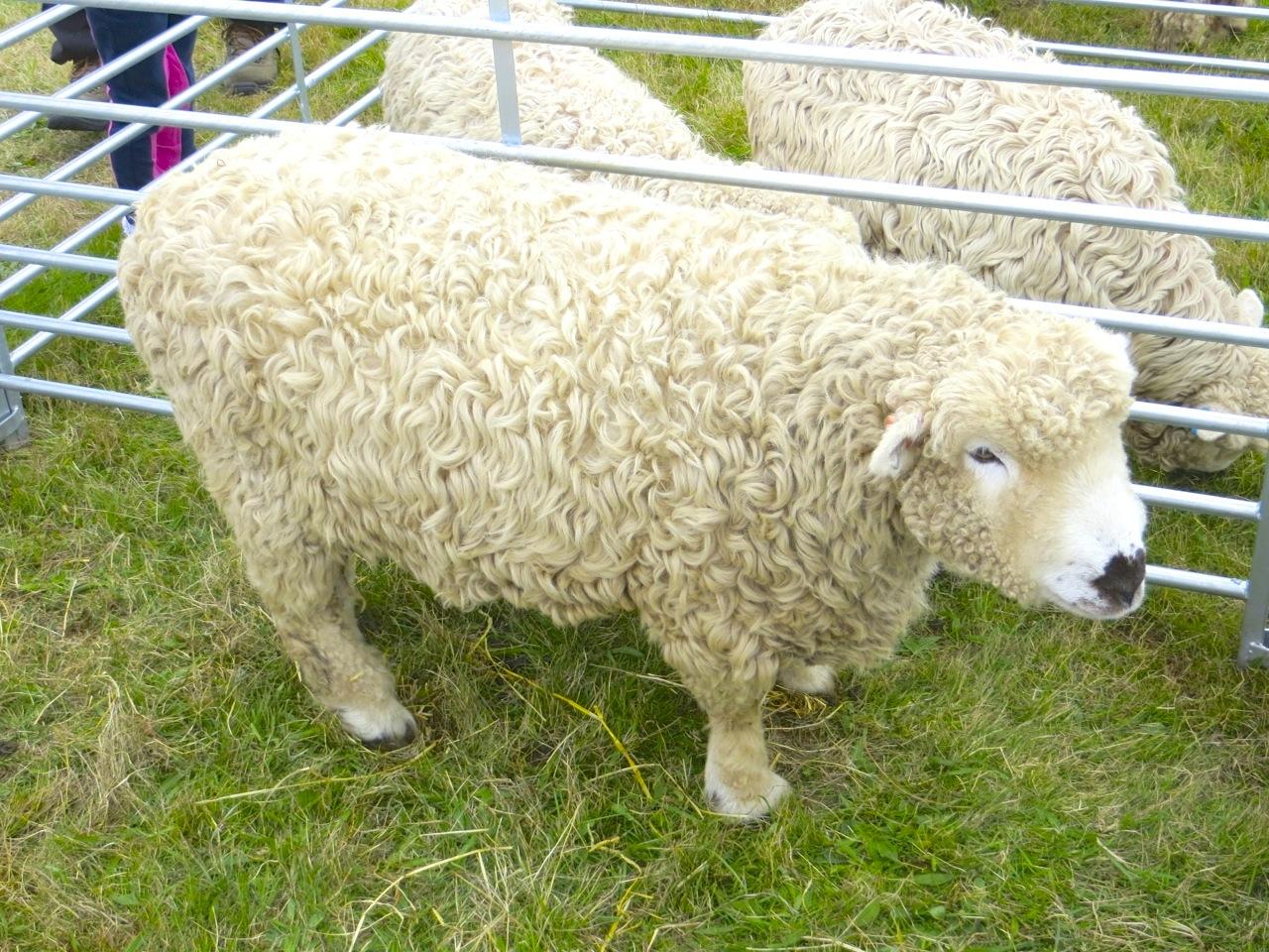 Dorset sheep