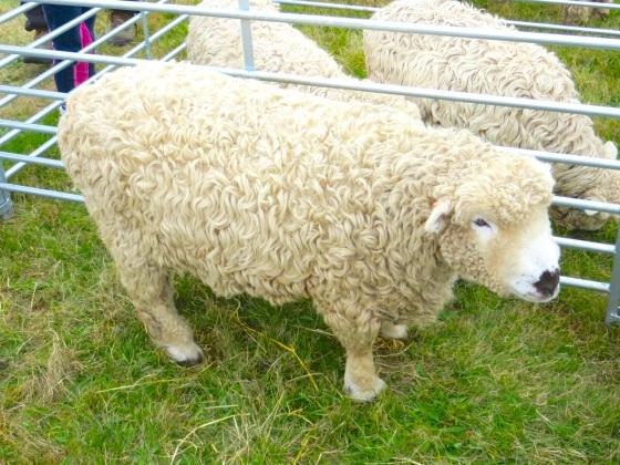 Dorset Poll Sheep, Stock Oak Fair