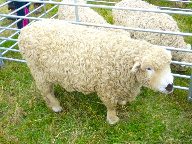 Dorset Poll Sheep, Stock Oak Fair
