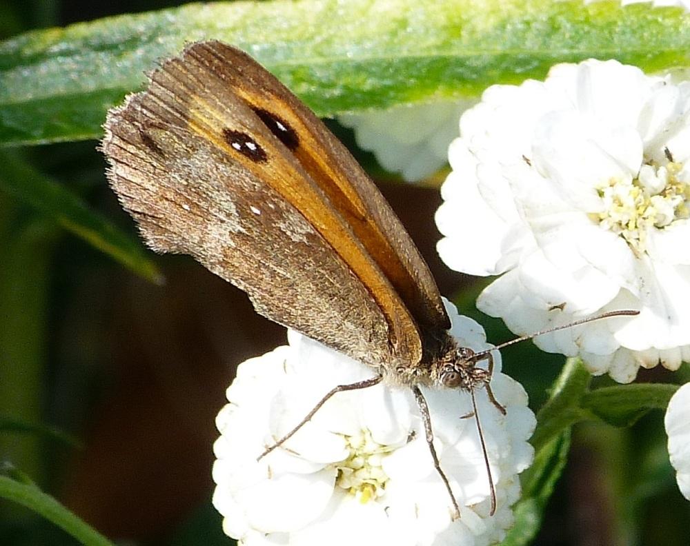 Gatekeeper Butterfly, Dorset