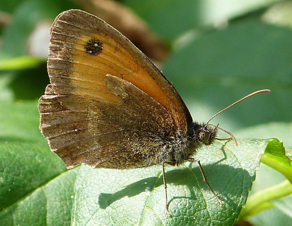 Gatekeeper Butterfly, Dorset 1