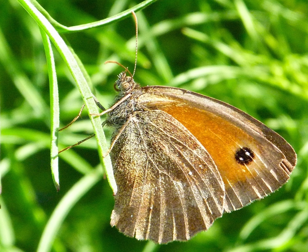 Gatekeeper Butterfly, Dorset 10b