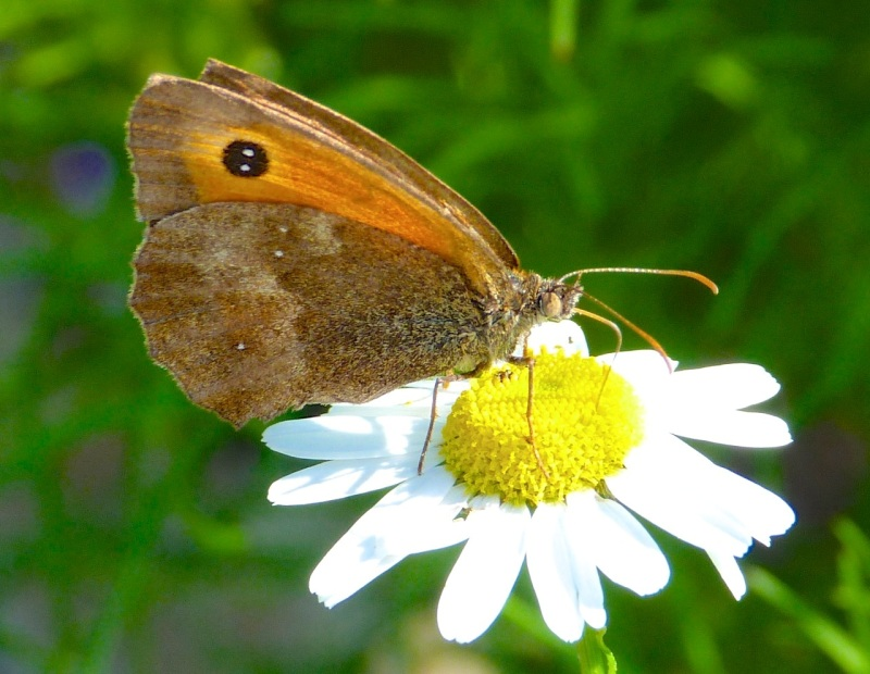 Gatekeeper Butterfly, Dorset 11b