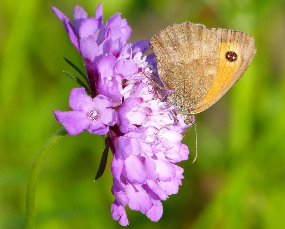 Gatekeeper Butterfly, Dorset 12