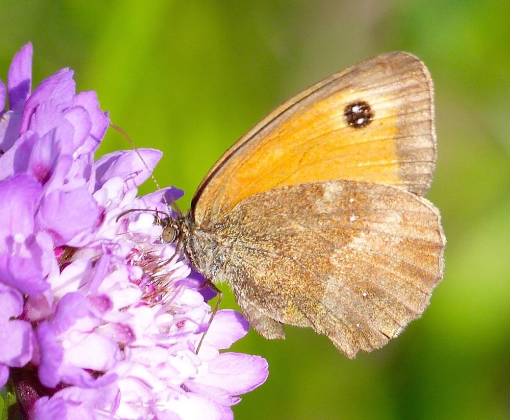 Gatekeeper Butterfly, Dorset 12a