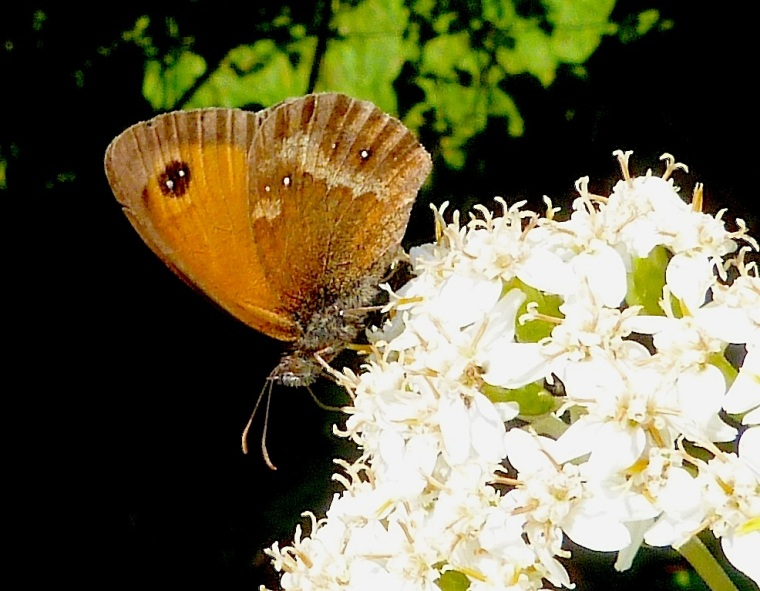 Gatekeeper Butterfly, Dorset (1st of the year)