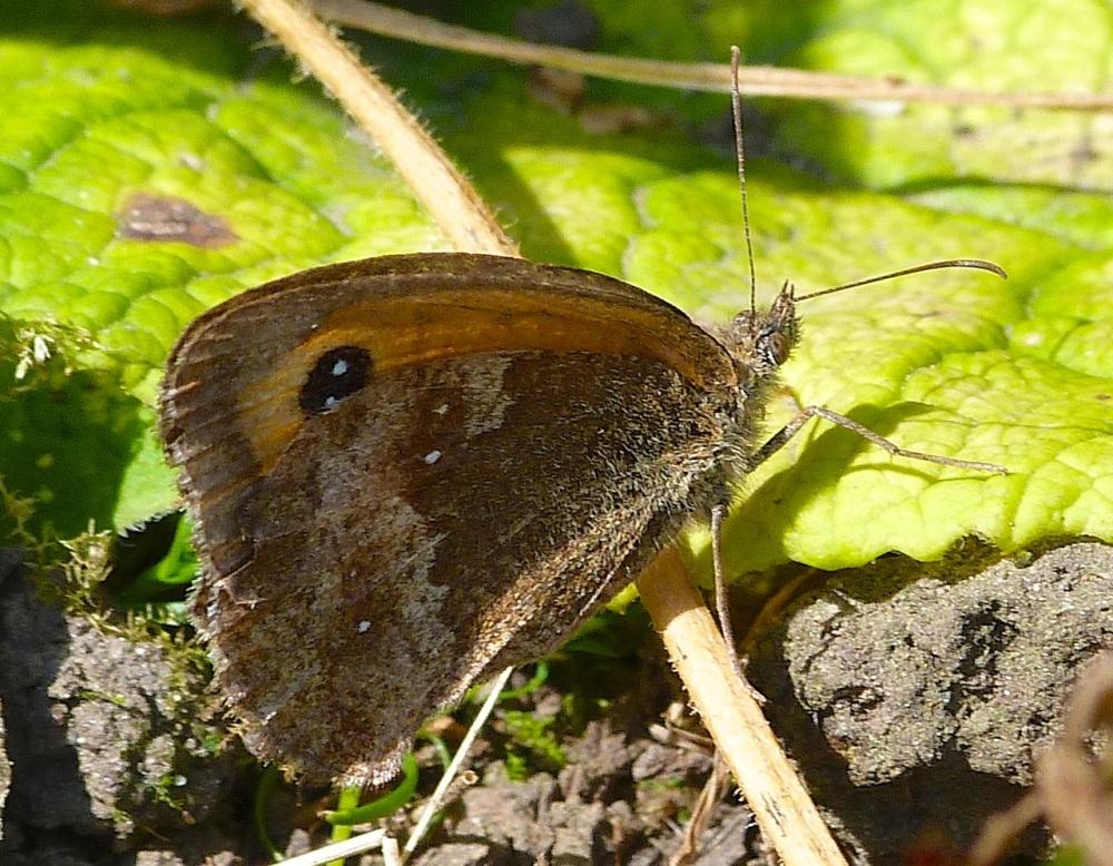 Gatekeeper Butterfly, Dorset 2