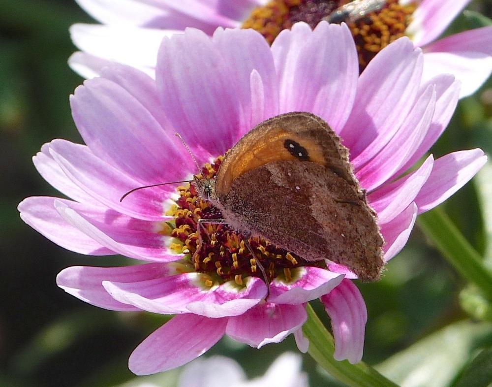Gatekeeper Butterfly, Dorset 3