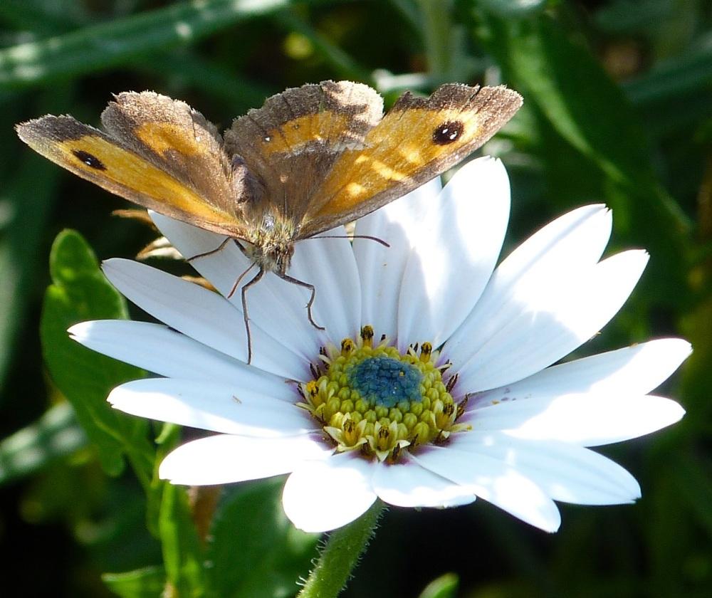 Gatekeeper Butterfly, Dorset 4