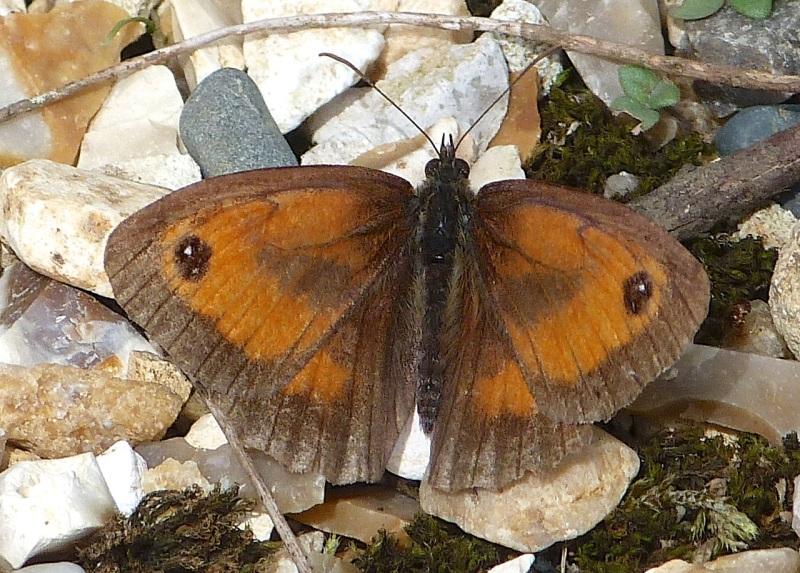 Gatekeeper Butterfly, Dorset 5