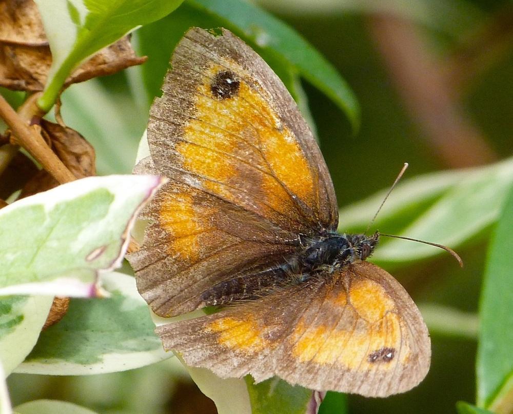 Gatekeeper Butterfly, Dorset 6