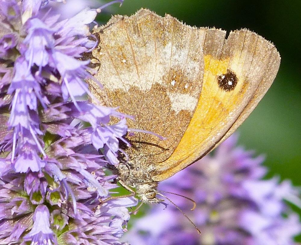 Gatekeeper Butterfly, Dorset 8