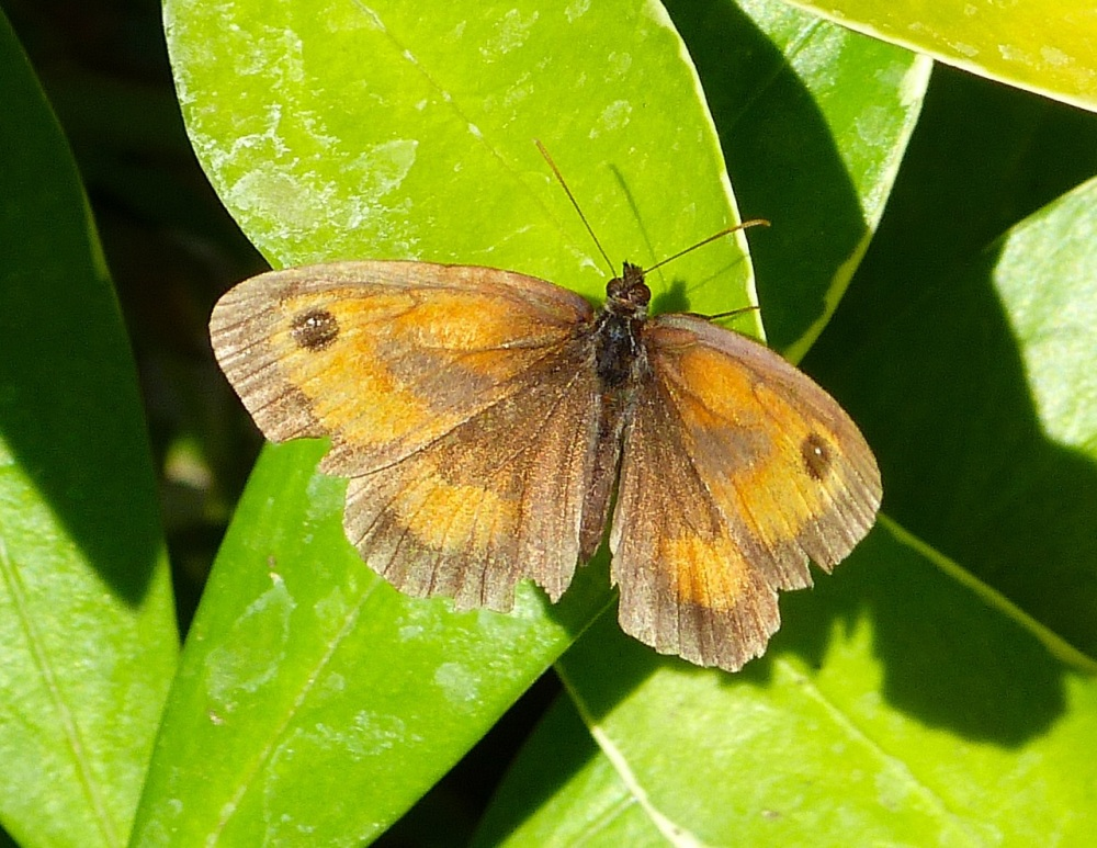 Gatekeeper Butterfly, Dorset 9
