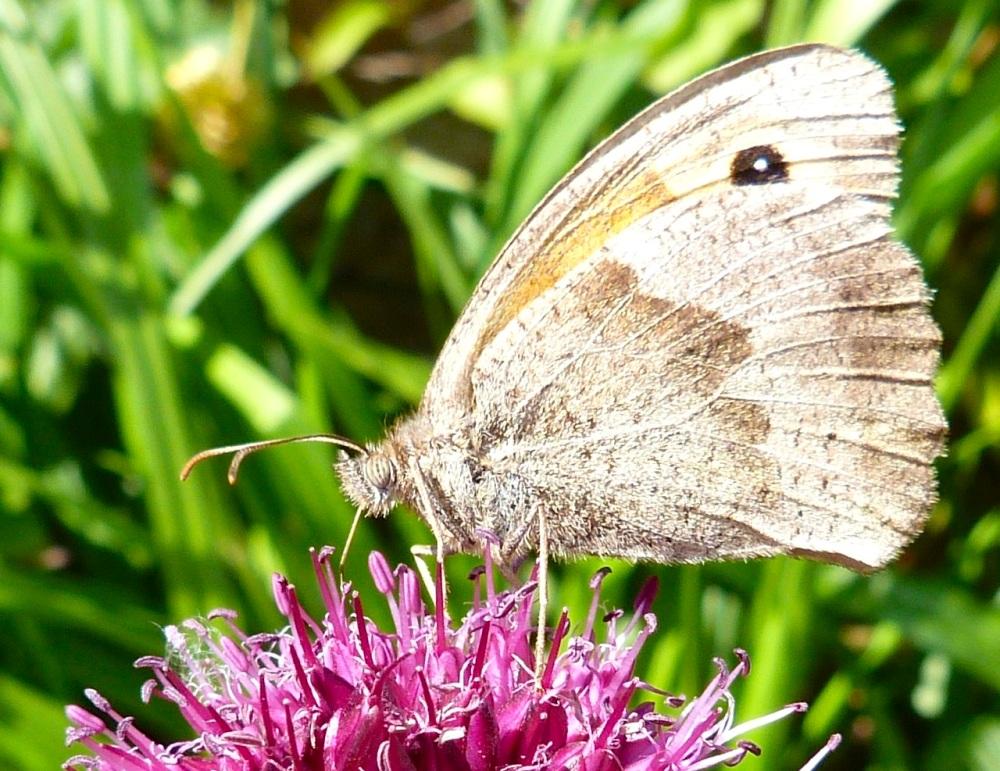 Meadow Brown Butterfly, Dorset 2